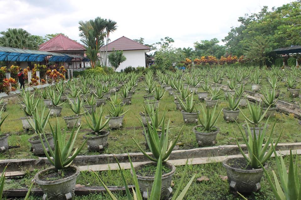 Aloe Vera Center (Lidah Buaya) Kota Pontianak Kalimantan Barat